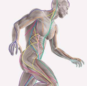 Фасция - роль в построении здорового тела, Центр Здоровья Человека